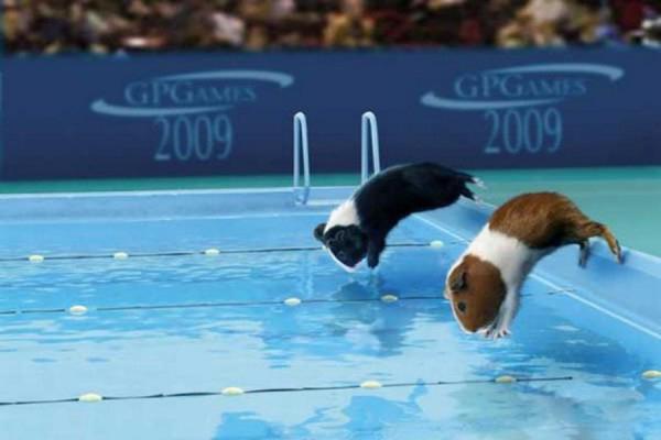 荷兰猪运动会游泳
