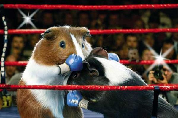 荷兰猪运动会拳击