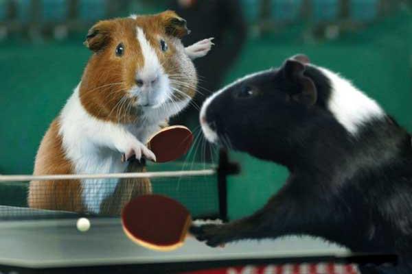 荷兰猪运动会乒乓球