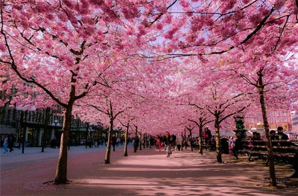 来自世界各地的樱花胜景