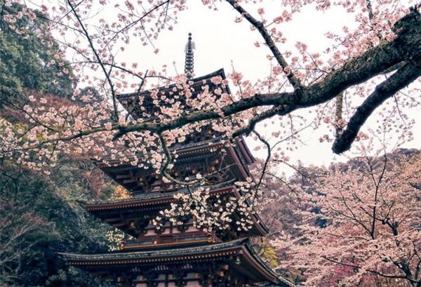 来自世界各地的樱花胜景(二)