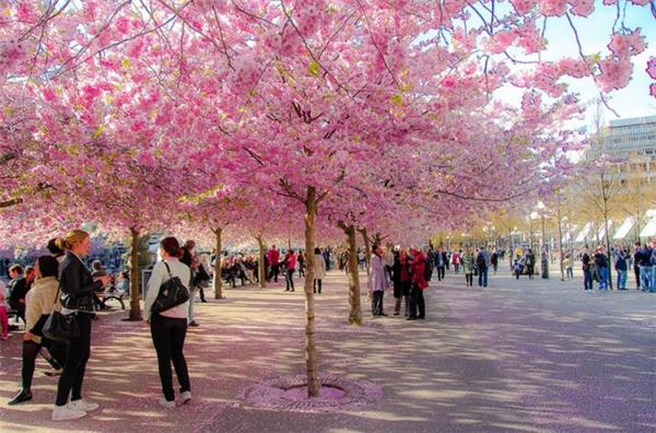 来自世界各地的樱花胜景(三)