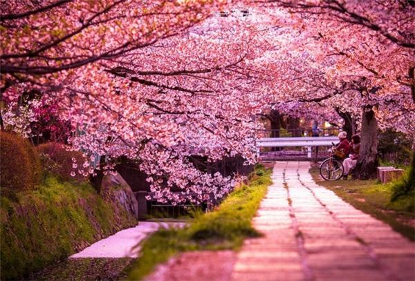 来自世界各地的樱花胜景(四)