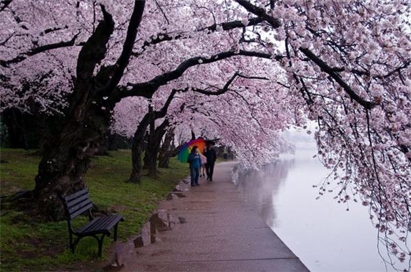 来自世界各地的樱花胜景(六)