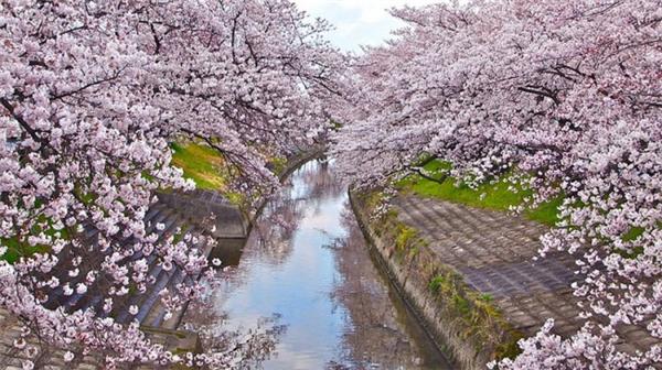 来自世界各地的樱花胜景(七)