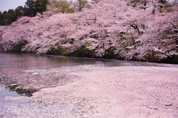 来自世界各地的樱花胜景(九)