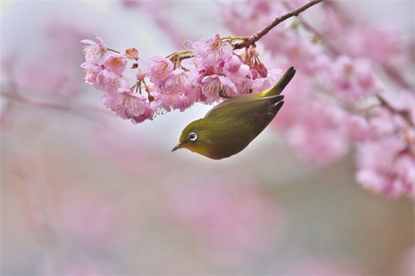 来自世界各地的樱花胜景(十)
