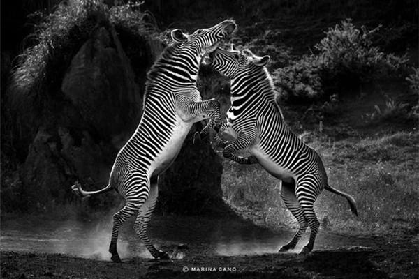 精彩的野生动物摄影(四)