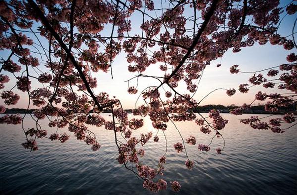 美美美丽的樱花(二)