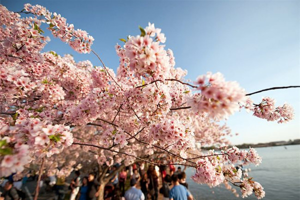 美美美丽的樱花(五)