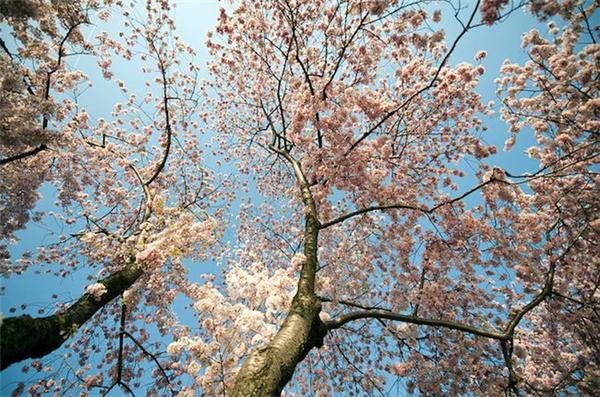 美美美丽的樱花(六)