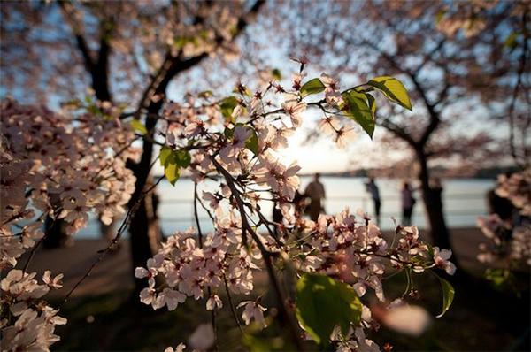 美美美丽的樱花(七)