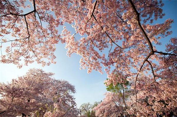 美美美丽的樱花(九)