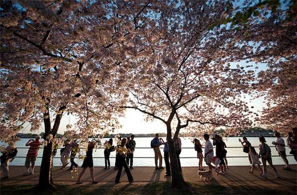 美美美丽的樱花(十)