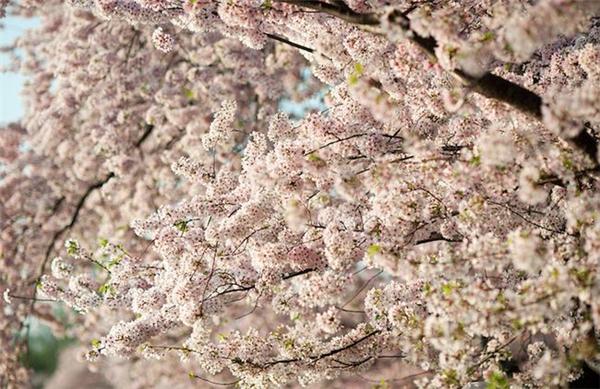 美美美丽的樱花(十一)