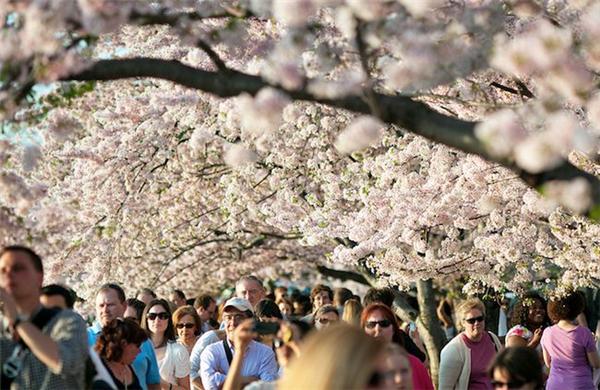美美美丽的樱花(十三)