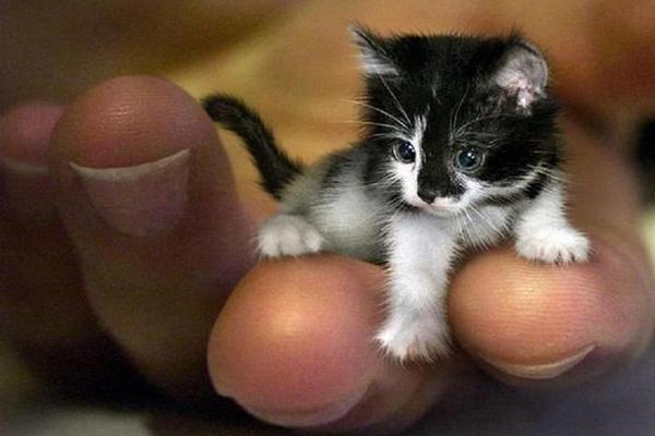 世界上最小的猫 皮堡斯 茶杯猫 皮堡斯多少钱一只