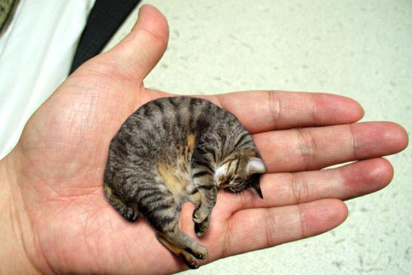 皮堡斯 世界最小的猫(二)