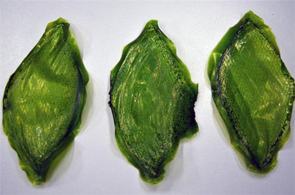 首个人造绿叶诞生了(二)