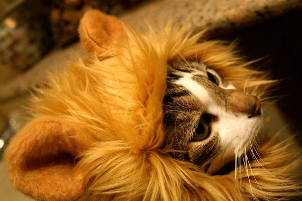 猫咪戴的狮子发型