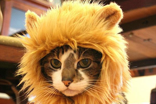 猫咪戴的狮子发型(二)