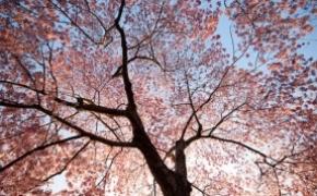 美美美丽的樱花
