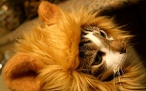 猫咪戴的狮子发型 猫咪马上变狮子